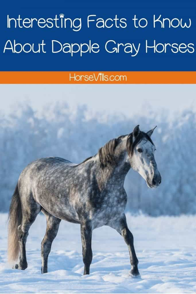 dappled grey horse walking in the snow