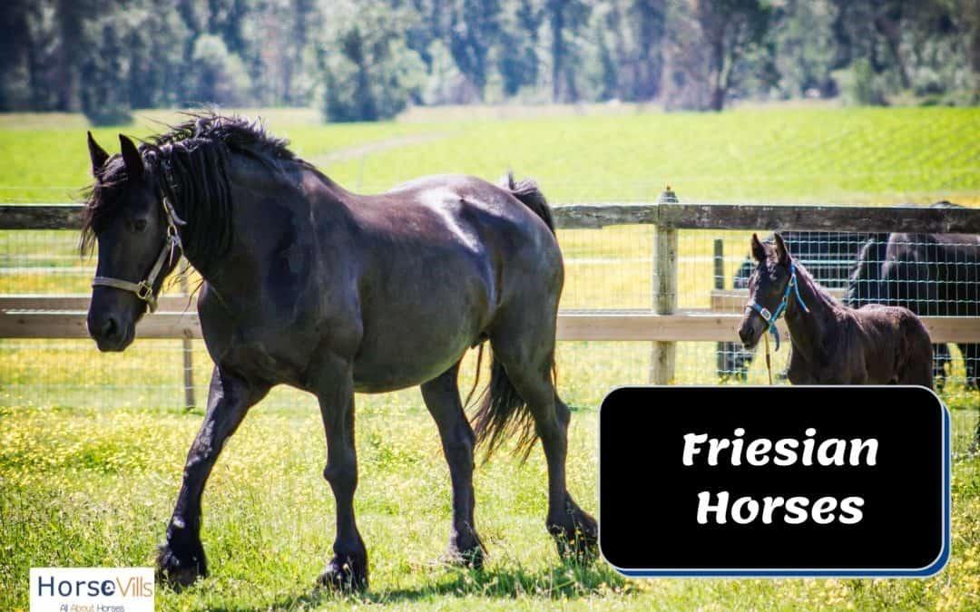 Friesian Horse Facts, Temperament &Characteristics