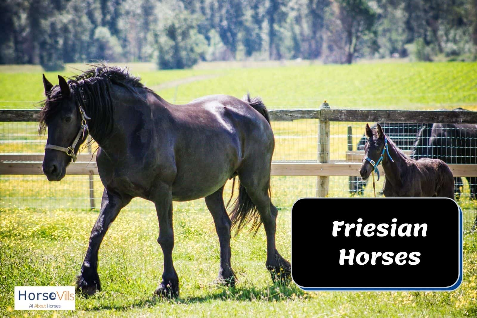 friesian horse with foal