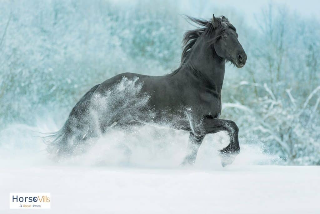 friesian horse in the snow