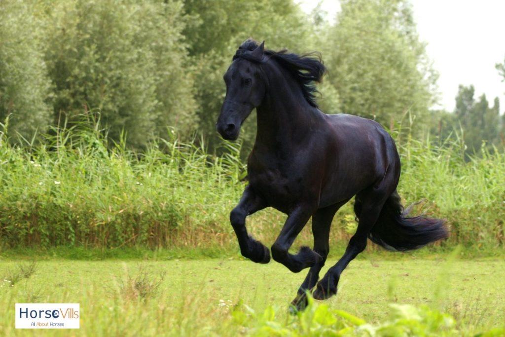 friesian horse running fast