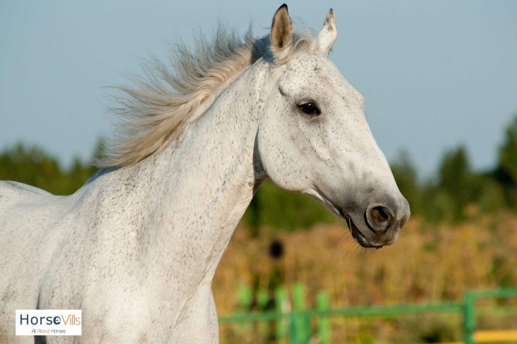 fleabitten gray horse