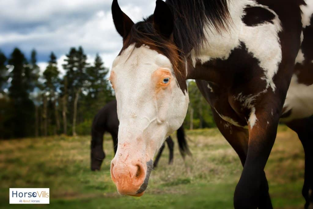 black and white horse with blue eyes