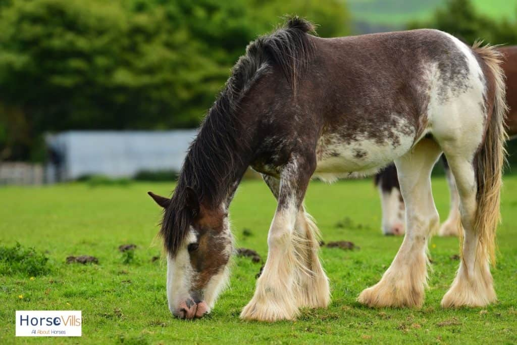 Clydesdale horses eating grasses