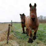 two large Belgian horses