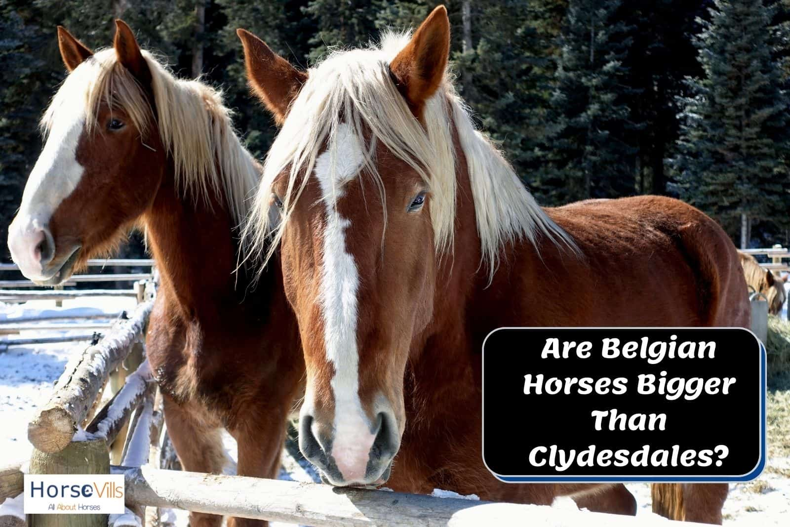 two belgian horses bigger than clydesdale