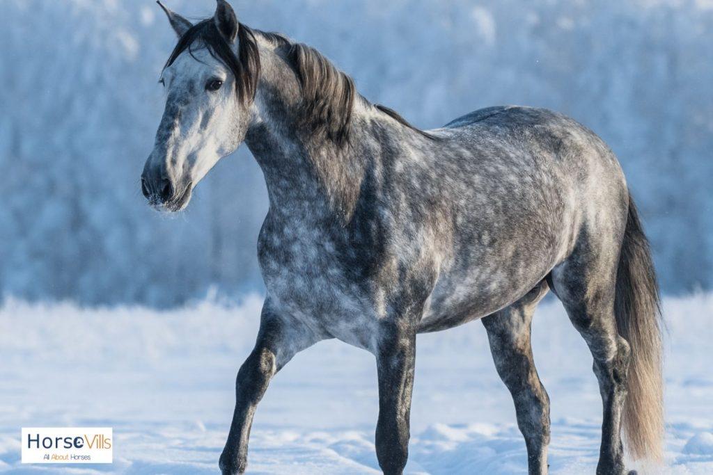 dapple gray horse walking in the snow