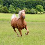 a running palomino horse