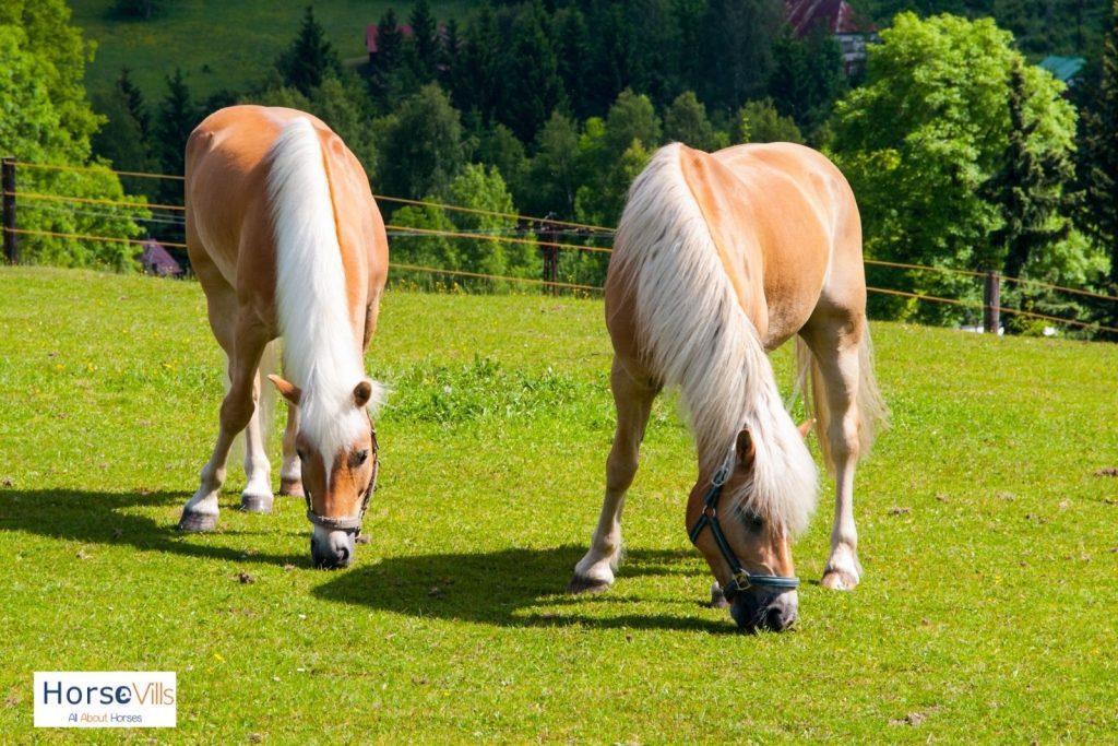 two palomino horses eating grasses