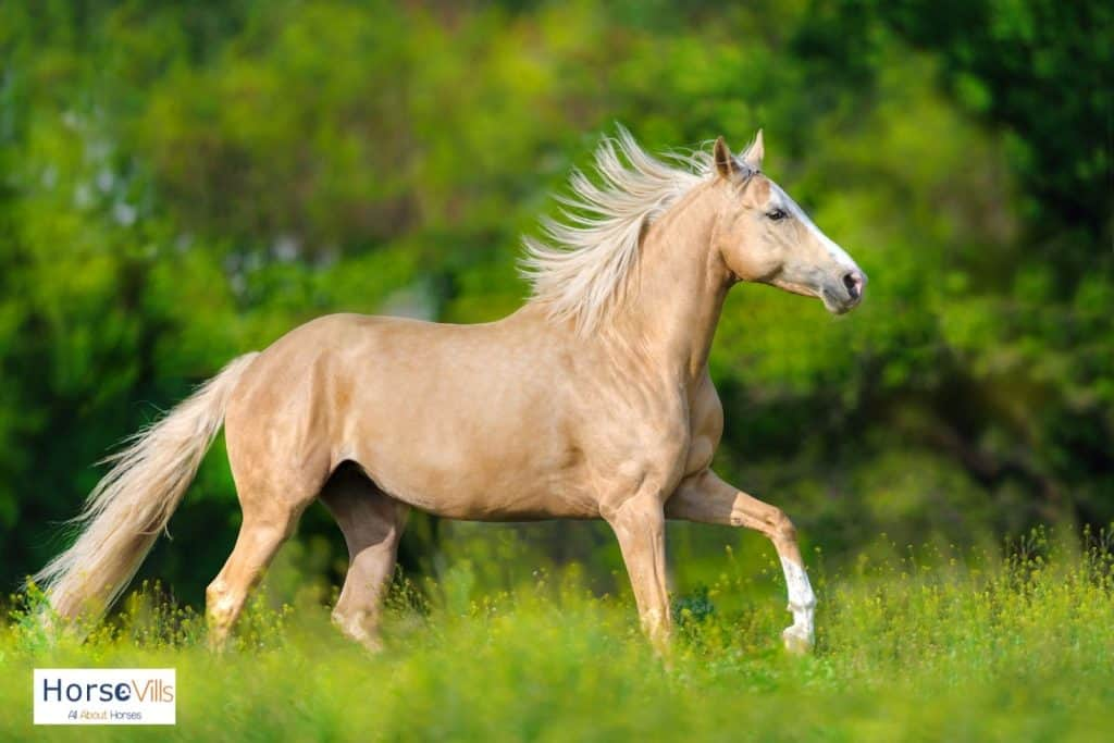 palomino horse with creamy mane and tail
