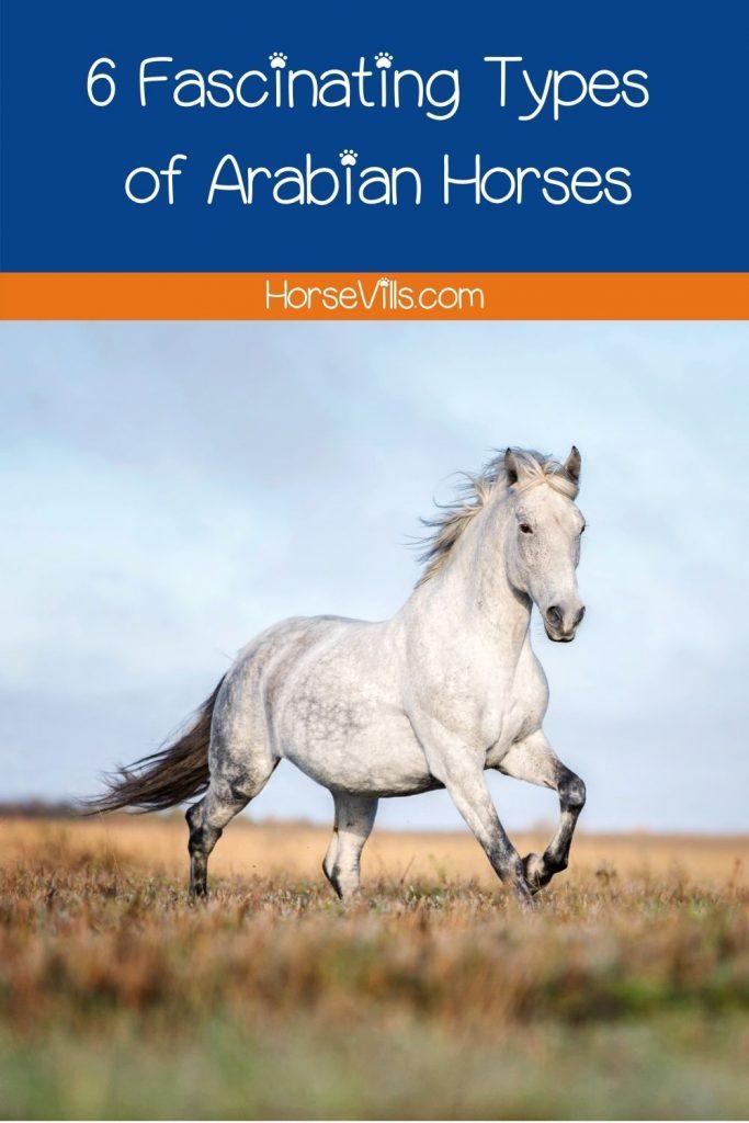 beautiful white Shagya Arabian horse