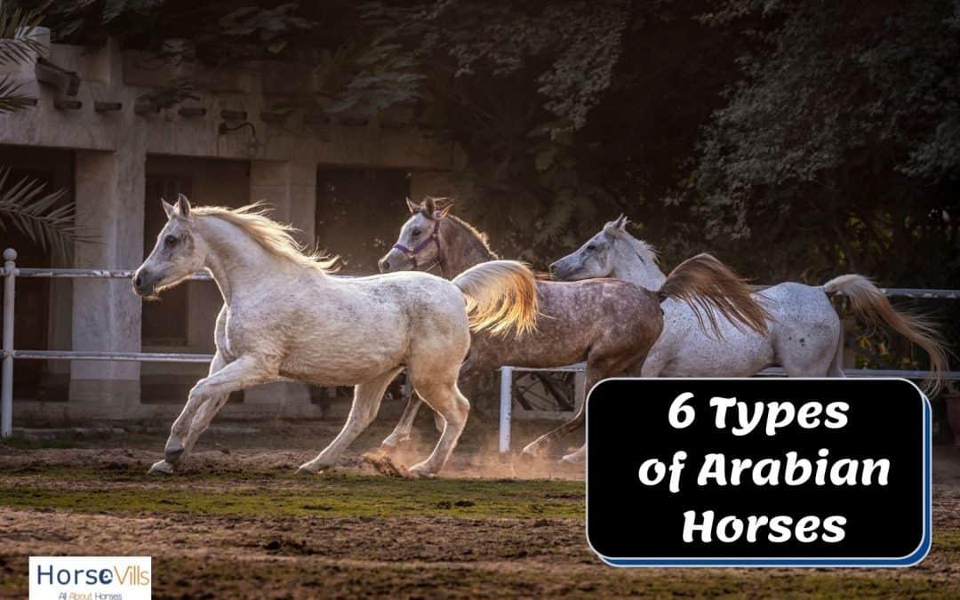 6 Fascinating Types of Purebred Arabian Horses