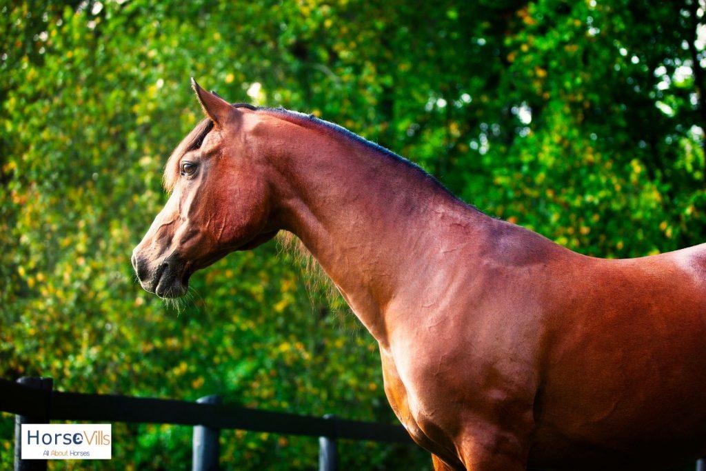 brown Polish Arabian horse