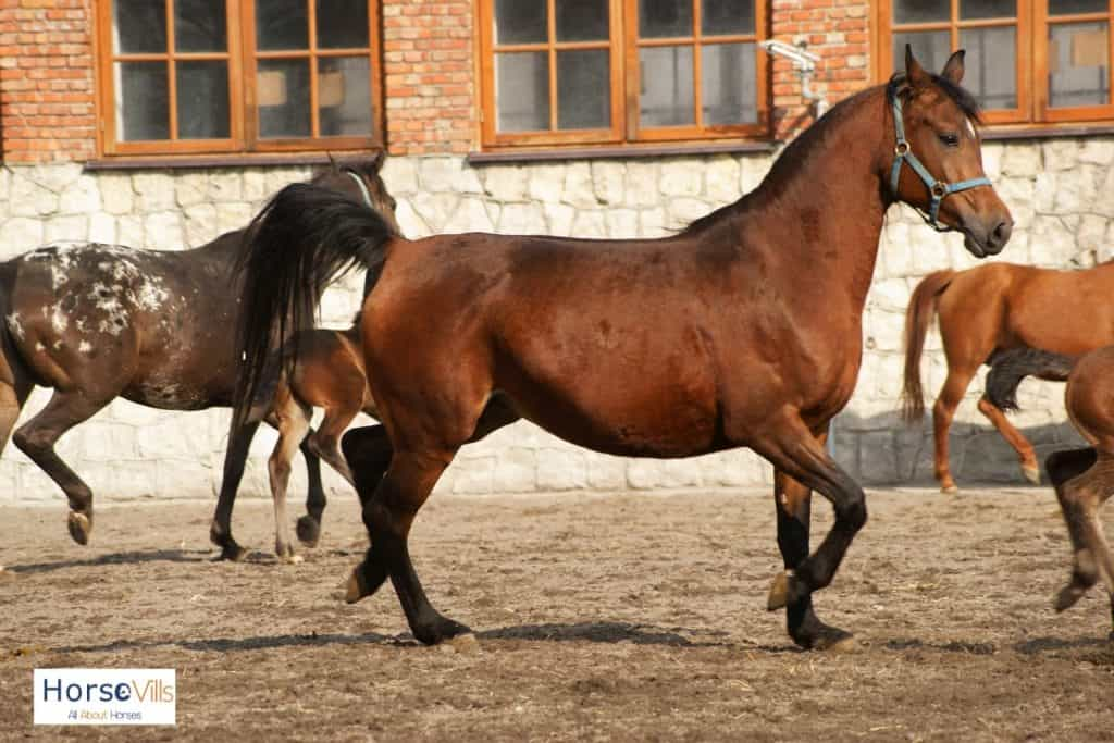 brown Russian Arabian horse