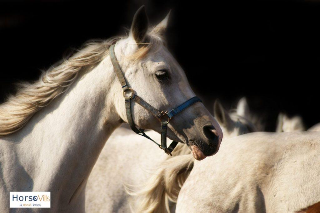 Spanish Arabian horse