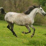 Shagya Arabian horse with gray mane and tail