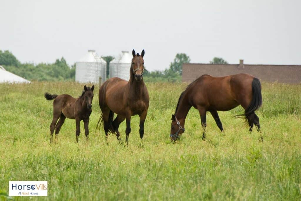 family of Morgan horses