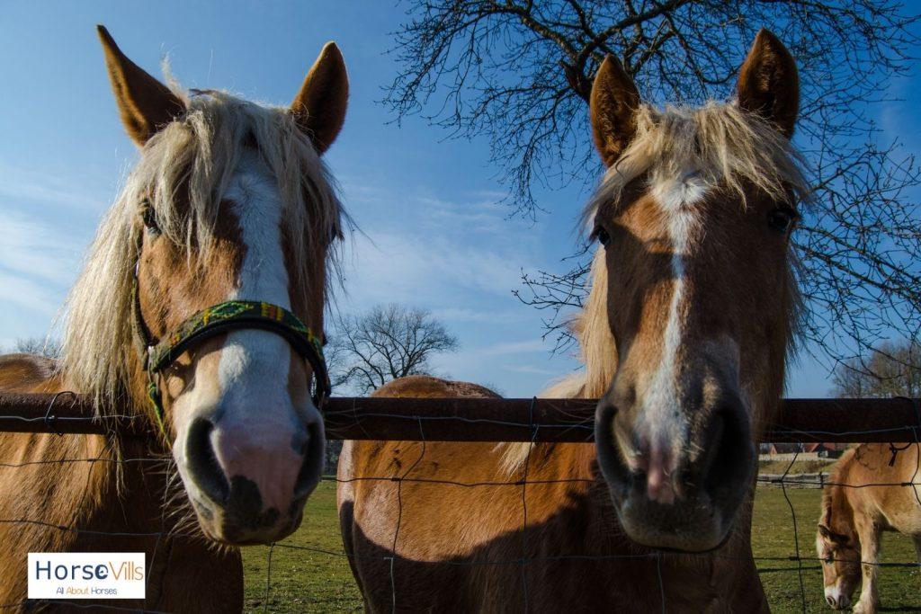 rare Galiceño horses