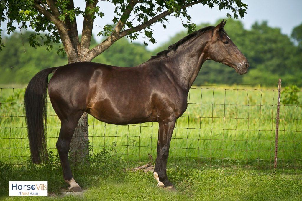 stunning Dutch warmblood horse under a tree