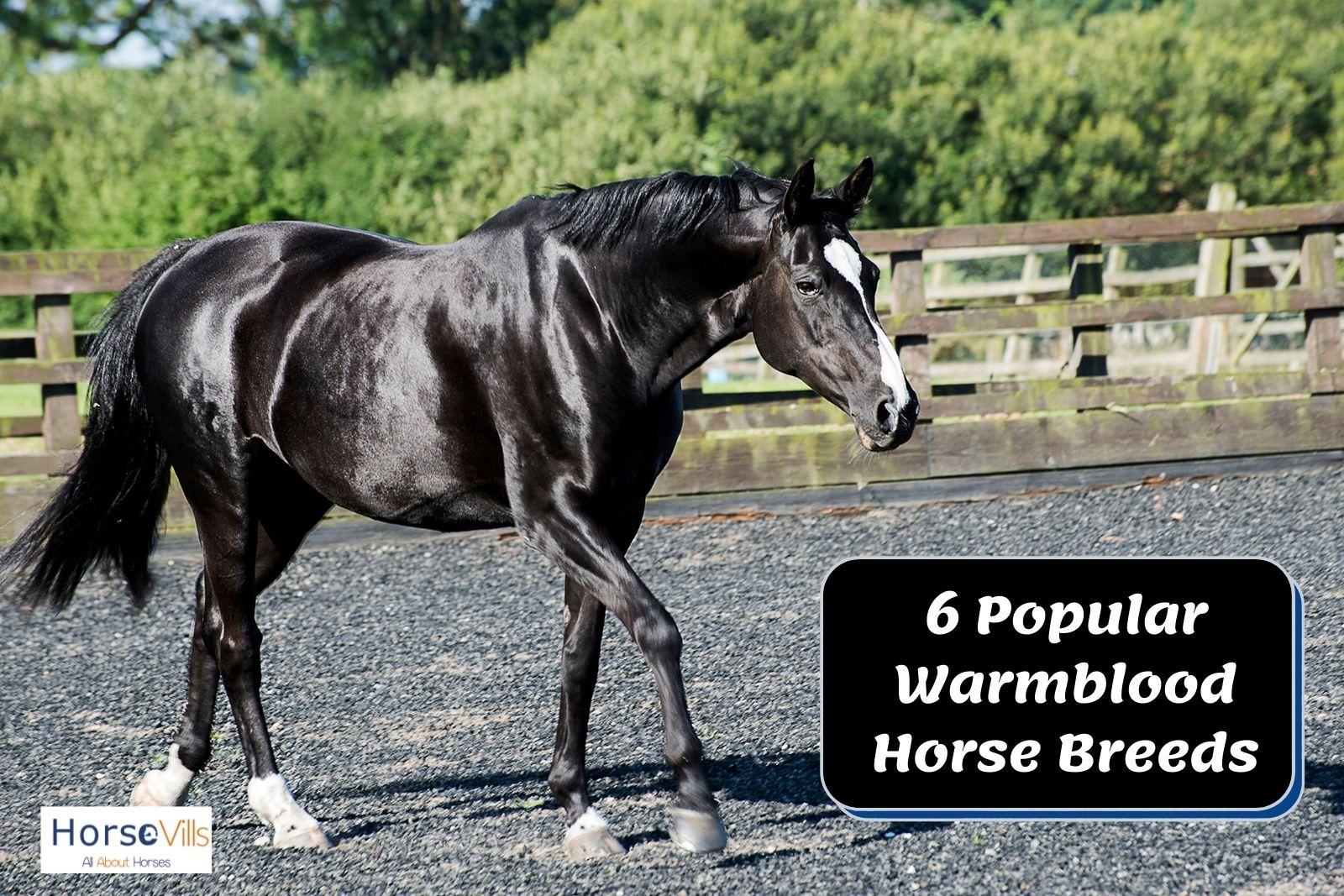 a black warmblood horse with white feet