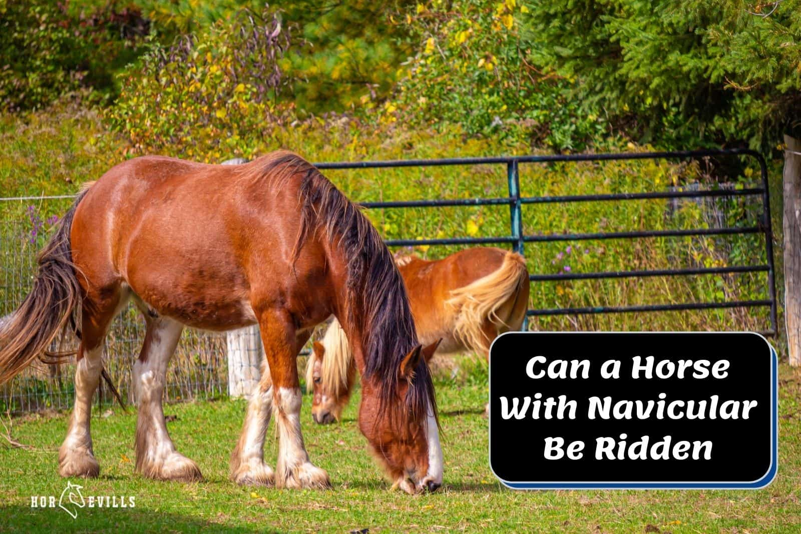 A horse with navicular eating grasses, can horse with navicular be ridden?