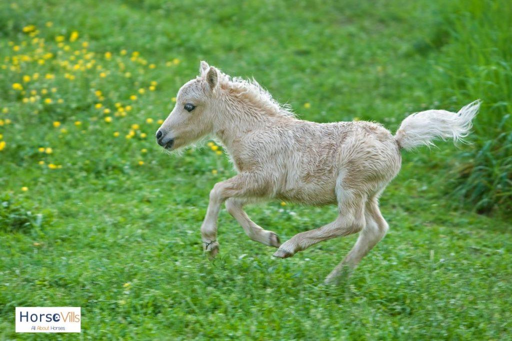 white foal running