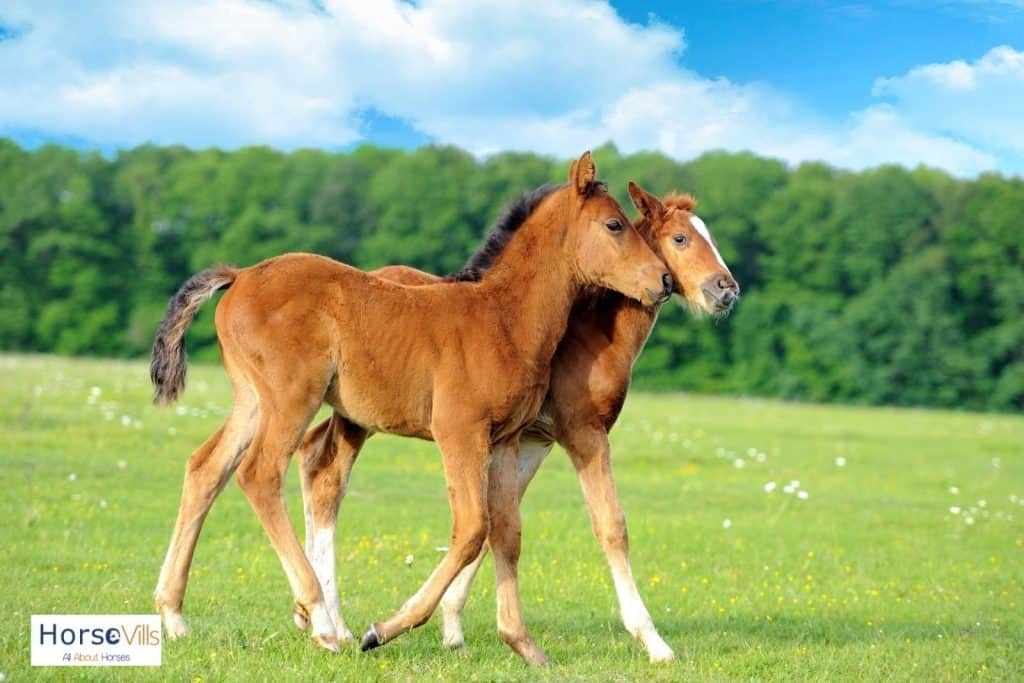 two foals walking together