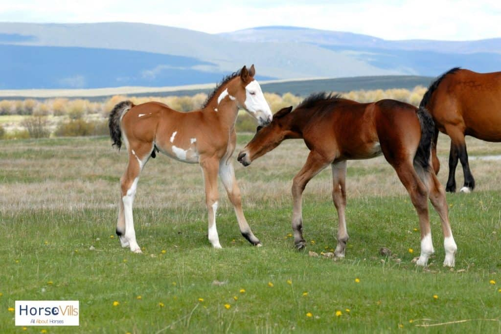 baby horses playing
